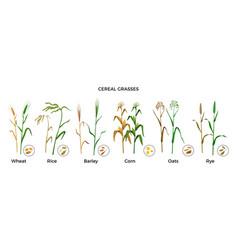 Cereal grasses flat set vector