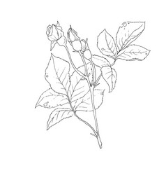 set of detailed isolated outline rose bud vector image