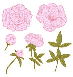 hand drawn peonies set vector image