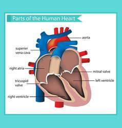scientific medical parts human heart vector image