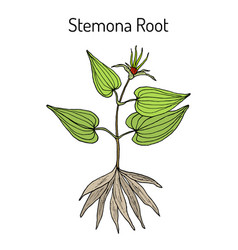 stemona tuberosa medicinal plant vector image