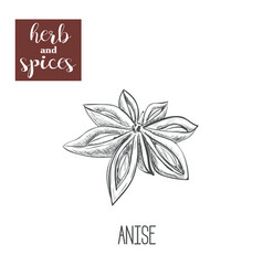 anise hand drawing herbs and spices vector image vector image