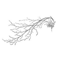 Birch branch vintage vector
