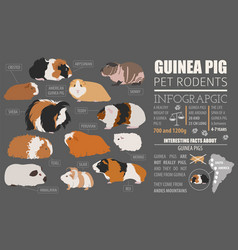 guinea pig breeds infographic template icon set vector image