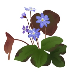 Hepatica flowers with leaves isolated vector image