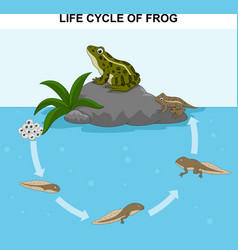 Frog life cycle vector