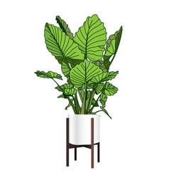 Alocasia a trendy houseplant modern flower pot vector