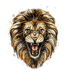 Sketchy graphic color portrait a roaring lion o vector