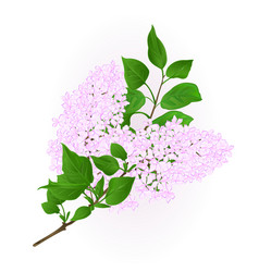 lilac white twig with flowers and leaves vintage vector image