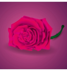 pink rose on purple background for valentines vector image