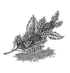 Quinoa plant and seeds super food vector