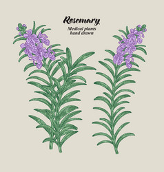 Rosemary branch with leaves and flowers medical vector