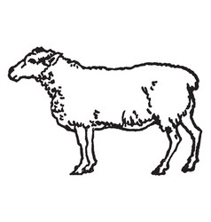 White sheep vintage vector