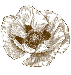 Engraving poppy flower vector