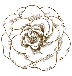 Engraving rose flower vector