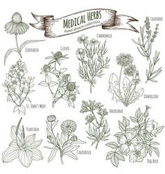 medicinal herbs collection vector image