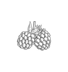 Blackberry isolated summer bramble berry sketch vector