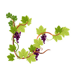 vine or grapes bunches on branch isolated icon vector image