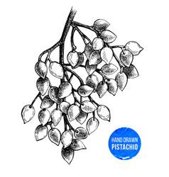 hand drawn branch of pistachio tree vector image vector image
