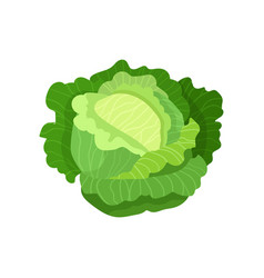 cabbage with big bright green leaves fresh and vector image