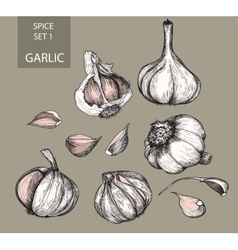 Garlic vector image