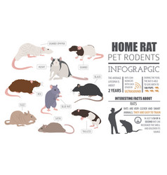 Rat breeds infographic template icon set flat vector