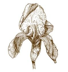 Engraving iris vector