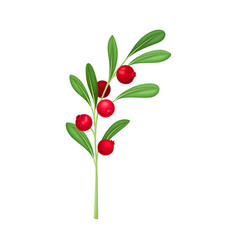 Cranberry twig with green leaves isolated on white vector
