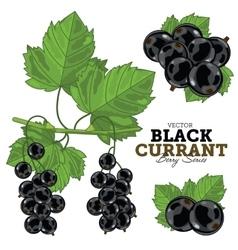 Black Currant Set vector