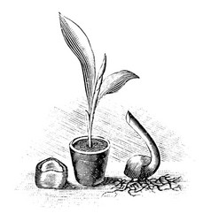 vintage antique line art drawing or engraving vector image