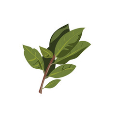 Bay leaf branch isolated on white vector
