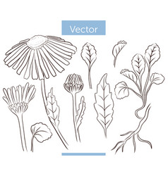collection chamomile flowers buds and leafs vector image