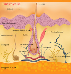 the anatomical structure of the hair on the head vector image