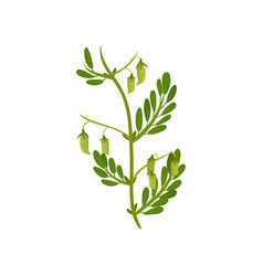 flowering chickpea plant with green leaves vector image