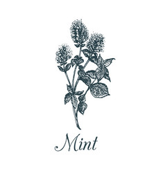 Mint hand drawn aromatic vector
