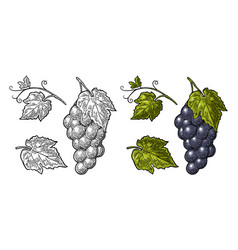 Bunch of grapes with berry and leaves vintage vector