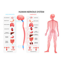Nervous system realistic chart vector