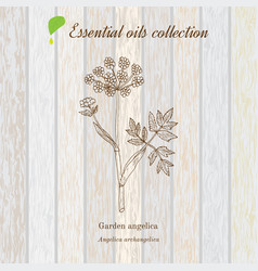 Pure essential oil collection angelica wooden vector