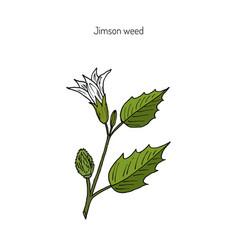 Datura stramonium or thorn apple vector