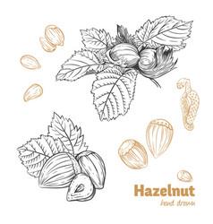 hazelnuts hand-drawn vector image