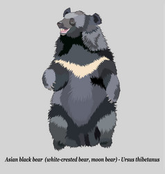 realistic asian black bear vector image