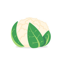 Cauliflower isolated on white background vector
