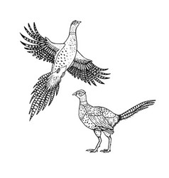 Hand drawn pheasant linear style line vector
