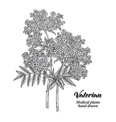 hand drawn valerian with leaves and flowers vector image