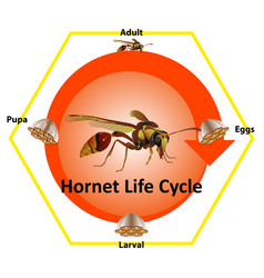 Life cycle hornet most them live on vector