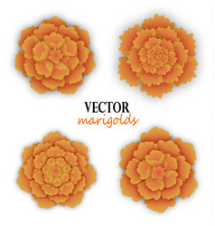 Set of orange marigolds vector