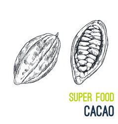 Cacao beans super food hand drawn sketch vector