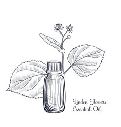 Drawing linden flowers essential oil vector