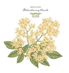 elderflower branch isolated on white background vector image