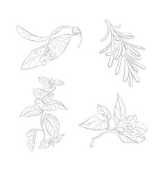 collection of herbs for cooking a set of vector image